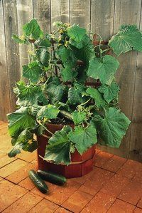 Salad Bush Cucumber Grow Cucumbers On Your Deck! Super Yields In Small  Spaces. This
