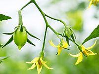 Vše o pěstování rajčat: na záhoně, v pytlích, ve skleníku, výsadba a hnojení