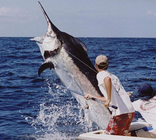 Tropic star lodge best black marlin fishing in the world for Marlin fishing charters