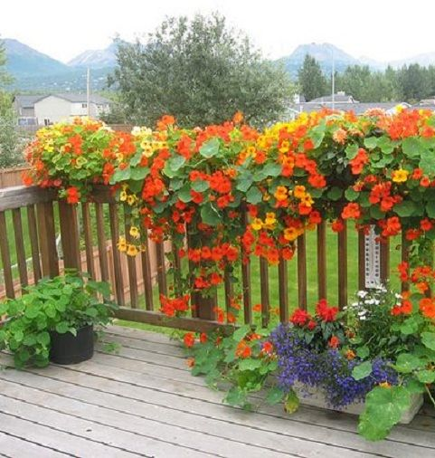 Hanging Nasturtiums in box planters for the deck or balcony.. colorful, beautiful. - Substitute flowers for high heat areas: Perhaps you can substitute flowers in VA that take the heat http://www.weekendgardener.net/garden-plants/high-heat-flowers-080908.