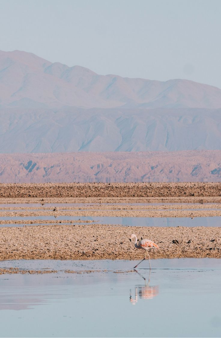 Flamingos in Laguna Chaxa,| One of the must-see places in Chile, check out this a quick guide to all things Atacama Desert.