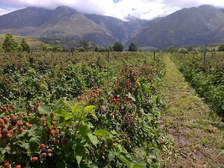 Swellenberry is coming!  5 - 7 December in #Swellendam.