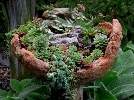 Sempervivum As Part Of An Alpine Garden In A Shallow DIY Container.