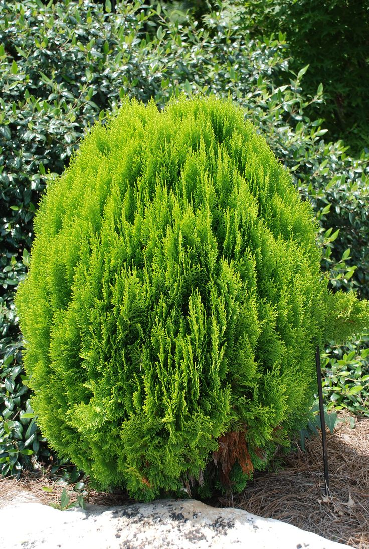 Thuja orientalis (Chinese Arborvitae) - There are dozens of landscape varieties of this excellent small conifer with its feathery sprays of foliage, all of which are hardy everywhere, but in my mind the best for winter interest are the compact, globular ones with yellow lime green leaves, like 'Aurea Nana' or 'Raffles.'  Less than 5' tall and a bit narrower they naturally stay shapely and compact and so never need pruning.  The combination of a geometric shape and vibrant color are a real…