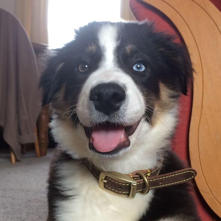 Blue Border Collie pup
