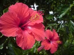 Gummamela/hibiscus rosa sinisis linn /english china rose medical used; mumps infection of urinary tract, bark , used to normalized menstration seeds used as stimulant and cramps decognation, leaves for fever headaches
