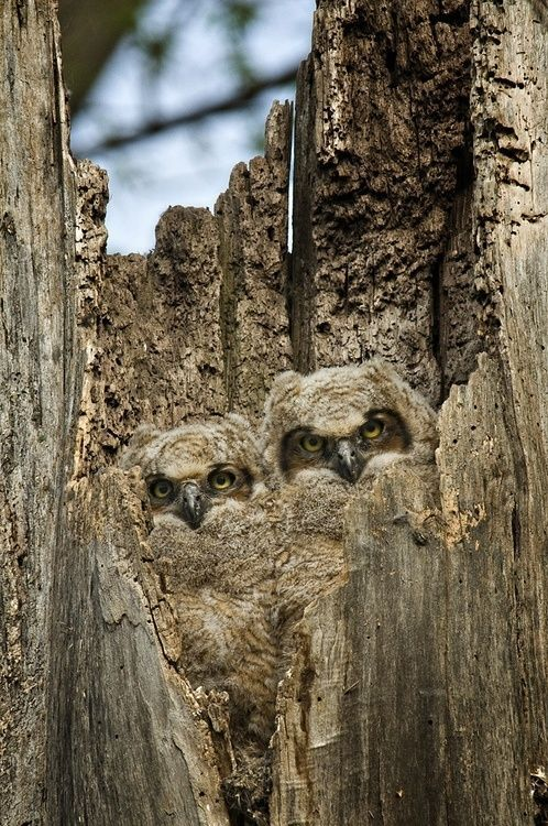 Camouflaged Owls | Most Beautiful Pages Trees Trunks, Owl Baby, Baby Owl, Birds, Photo, Trees