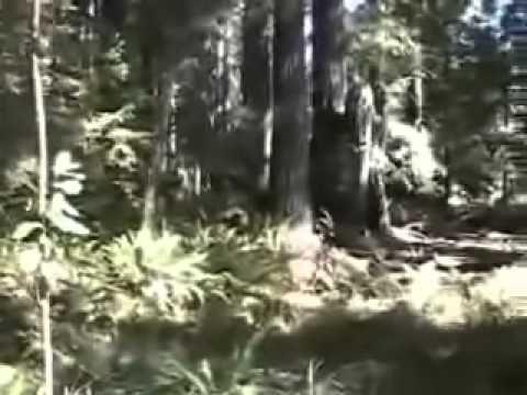 Bigfoot Footage Wild Man of Canada   BigfootBlogger.Com