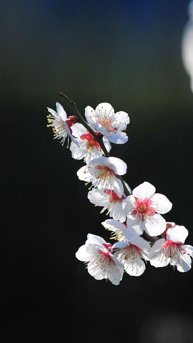 Download Free Hd Wallpaper From Above Link Sakura Flower Pretty Spring Bokeh Tree Wallpaper Iphone Cherry Blossom Wallpaper Spring Flowers Wallpaper Spring wallpaper for iphone xs max