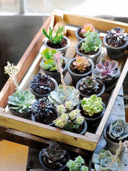 Plantas de interior resistentes suculentas