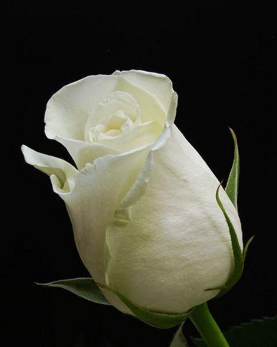 Rosebud, white...girlhood; innocence; and heart innocent of love