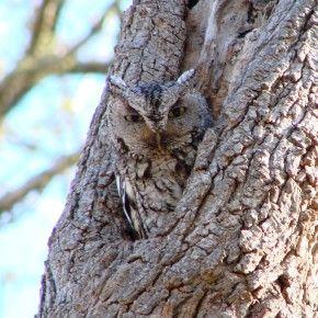 Questo nido è la casa di Athena. Lei è un assiolo americano orientale, Eastern Screech Owl (Megascops asio).  Vive a Houston, in Texas. Il nido è occupat