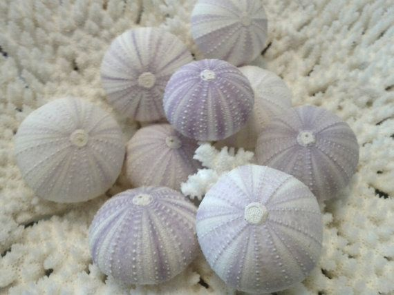Light Violet/ Purple Sea Urchins/ Set of 6- All Natural Colors/ Seashells for decorating or crafting $7.50
