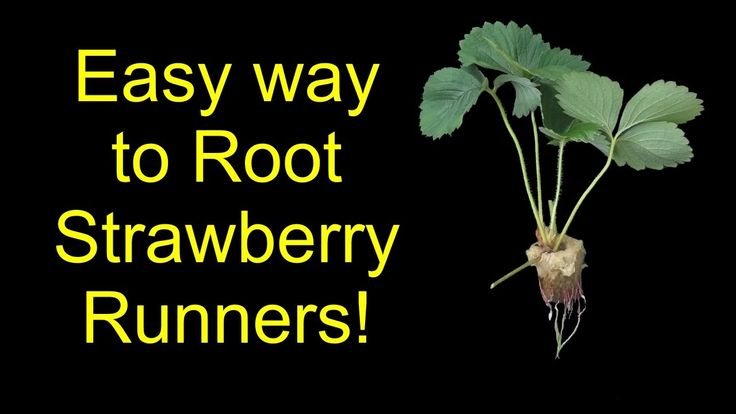 How To Root Strawberries For Hydroponics, Aquaponics, Or Soil - The Slee...