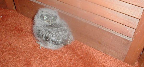 Baby Screech Owl 10,000 Birds | Get Thee To A Wildlife Rehabilitator