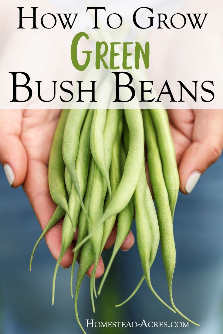 How To Grow Green Bush Beans For A Successful Harvest Bush Beans