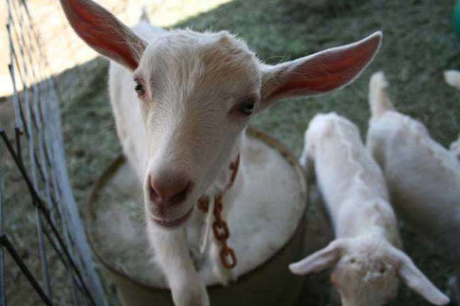 This Goat Was Genetically Altered With Spider DNA, and What It Can Do Is Incredible