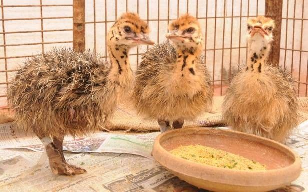 Besides selling Ostrich chicks, we also sell ostrich hatching eggs for those of you that want to incubate and hatch your own ostriches on your farm. Ostrich and emu hatching eggs for sale are of the highest quality! We guarantee the Ostrich Chicks and Fertile Eggs to be true to breed variety and to arrive in good condition. The quality of the hatching eggs are excellent and we have recorded up to 98% hatch rates in our Sure hatch Egg incubators using these fertile broiler eggs. Contact for…