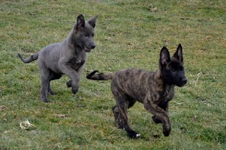 Dutch Shepherd puppies for sale at Cher Car Kennels                                                                                                                                                                                 More
