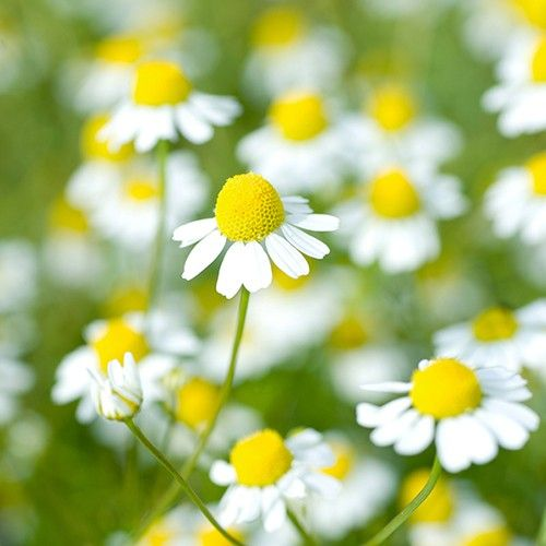 CHAMOMILE GERMAN :: 500 seeds via Green Seed Tasmania. Click on the image to see more!