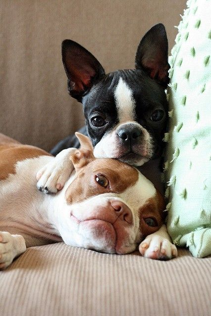 .: Best Friends, French Bulldogs, So Cute, Boston Bull, Pet, Cuddling Buddy,  Boston Terriers, Animal, Boston Terriers Puppies