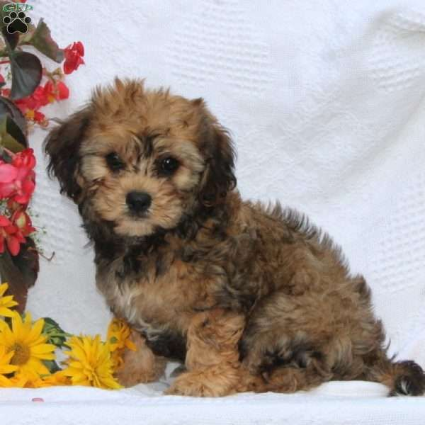 Ernie Cavapoo Puppy For Sale In Maryland Cavapoo Puppies Cavapoo Puppies For Sale Puppies