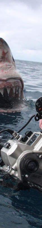 Curieux, un grand requin blanc s'approche d'un bateau