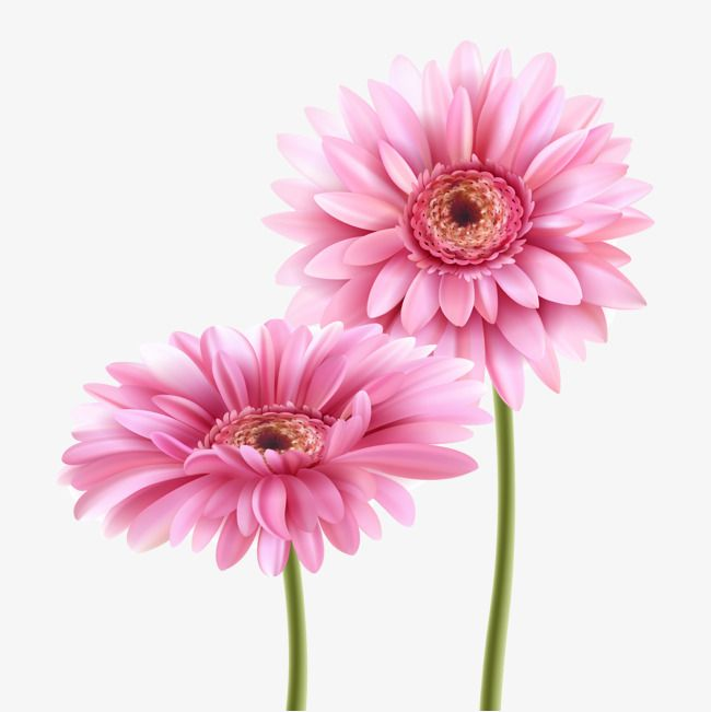 Pink Gerbera Vector Material Plant Material Pink Flowers Vector Diagram Png And Vector With Transparent Background For Free Download Gerbera Flower Gerbera Beautiful Flowers