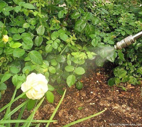 От ржавчины, пятнистости и мучнистой росы на растениях поможет идеальный состав таких ингредиентов. Необходимо взять:  1 столовую ложку соды 1 чайную ложку мягкого средства для мытья посуды 1 столовую ложку растительного масла 1 таблетку растворенного аспирина 4,5 л воды  Смешайте и опрыскивайте этим составом раз в 1-2 недели кустарник и растения, которые подвержены данным заболеваниям.