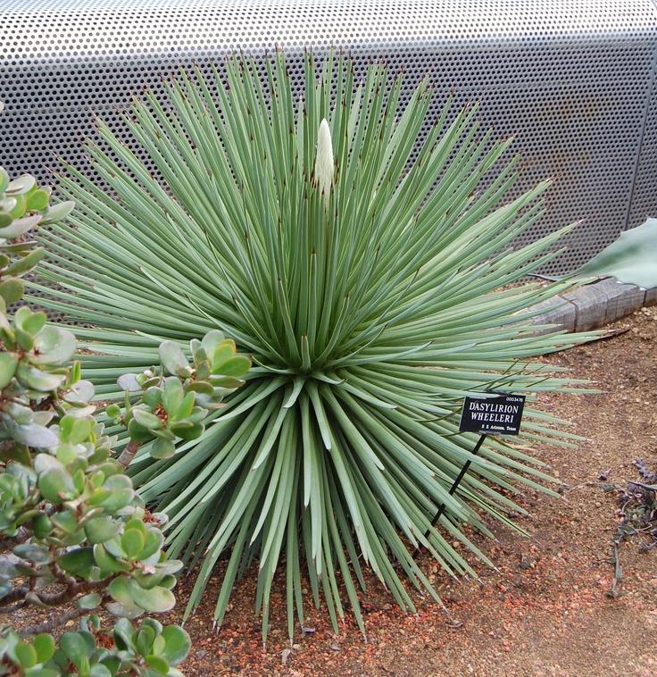 Dasylirion Wheeleri  FLORA  Plant  Flower  Oxford