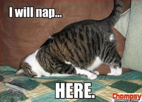 funny cat nap3