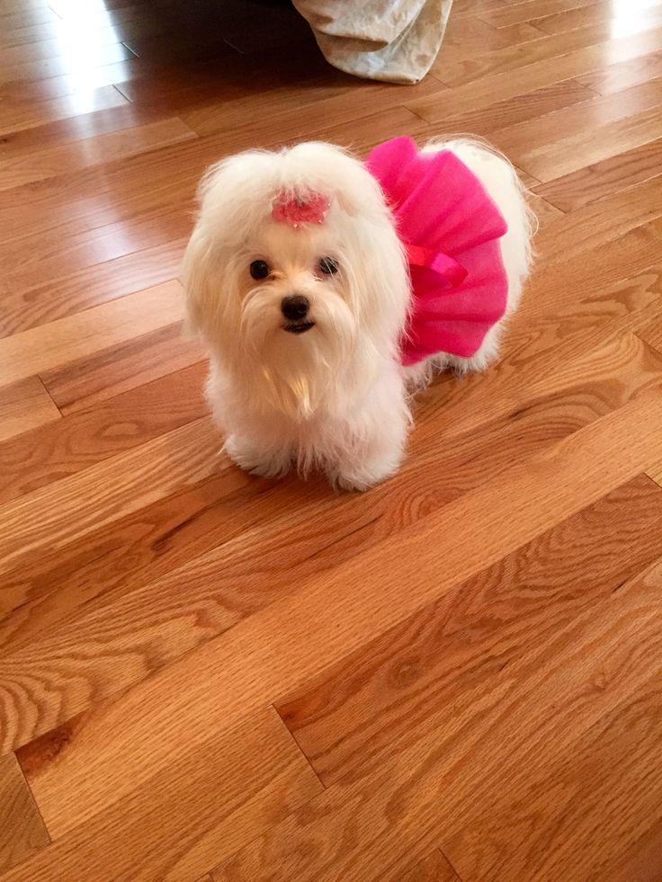 Issa Belle Maltese puppy