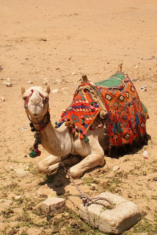 Don't let this camel's innocent look fool you. There are teeth there - lots of them