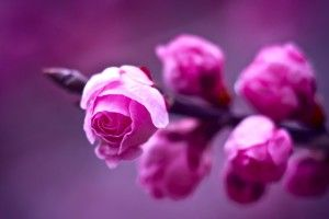 Pink Roses Flowers Branch Nature HD Wallpaper
