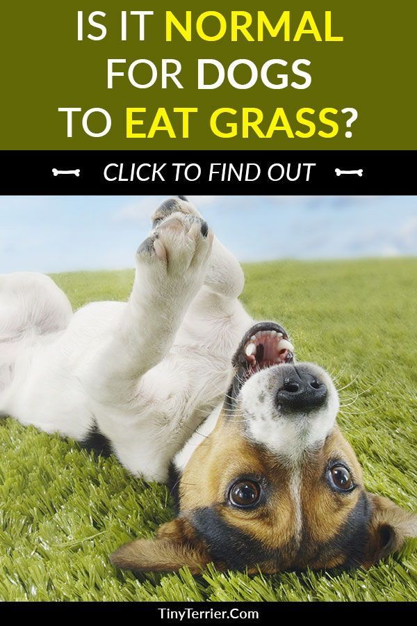Why Does My Dog Eat Grass Is It Dangerous Tiny Terrier In 2020 Dogs Eating Grass Dogs Dog Eating
