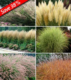 Interesting mix of ornamental grasses for a back hedge in the front yard?