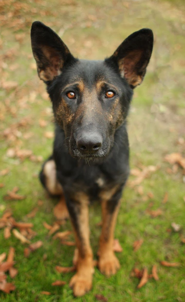 Tara - German Shepherd mix