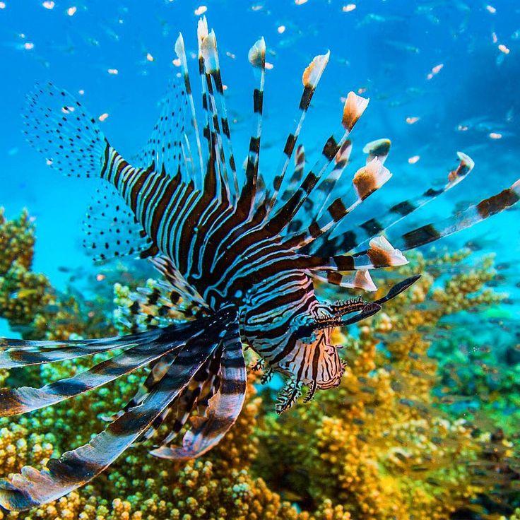 """Auch giftige Arten gibt's im """"Lebensraum Riff"""". Die Strahlen machen den Feuerfischs zu etwas Besonderem. Aber Achtung: In ihnen befinden sich giftige #Stacheln zur Verteidigung gegen Angreifer. Foto: © Eye Spy Productions Trading as Northern Pictures  #Feuerfisch #greatbarrierreef #australia # Australien #pterois #underwaterphotography #wildlifephotography #poisonousfish #tropicalfish #fishphotography #oceanlife"""