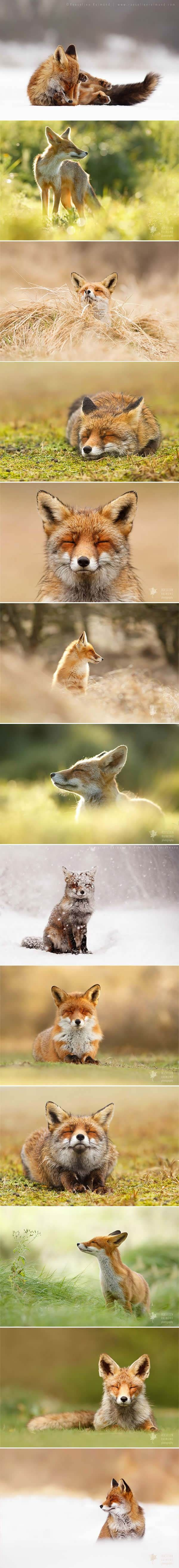 Wild Foxes Enjoying Themselves (By Photographer Roeselien Raimond)