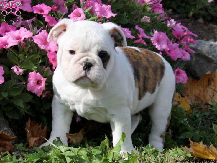 Candace miniature bulldog puppy for sale in pennsylvania