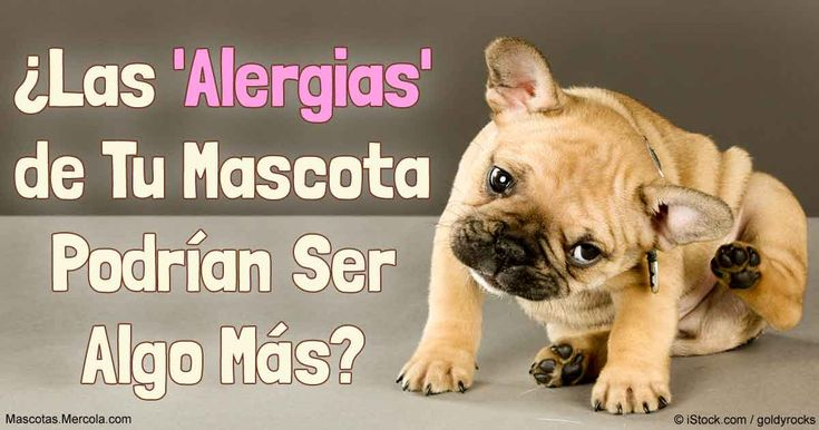 Si tu mascota sufre de una erupción cutánea, o comezón en la piel o los oídos, la sensibilidad o intolerancia a los alimentos podría ser la causa. http://mascotas.mercola.com/sitios/mascotas/archivo/2017/01/02/perros-con-alergias-alimenticias.aspx