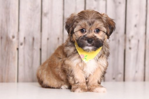 Shorkie Tzu puppy for sale in MOUNT VERNON, OH. ADN-27569 on PuppyFinder.com Gender: Female. Age: 9 Weeks Old