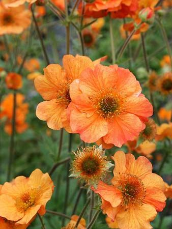 Geum, Totally Tangerine. Lift and divide large clumps in early spring or late autumn.