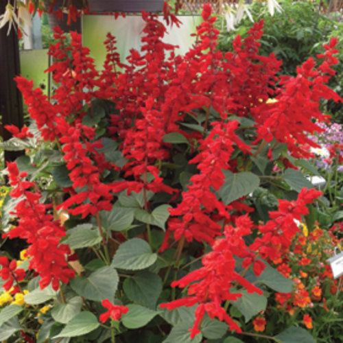 Salvia Saucy Red Proven Winners Zones 7 10 A Stunning New