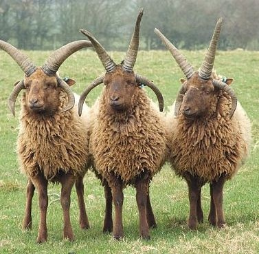 Manx Loahgtan sheep Scotland--count the horns! Ancient sheep had as many as 12 horns--the extra horns have been bred out of them..... Is this true? So cool and weird.