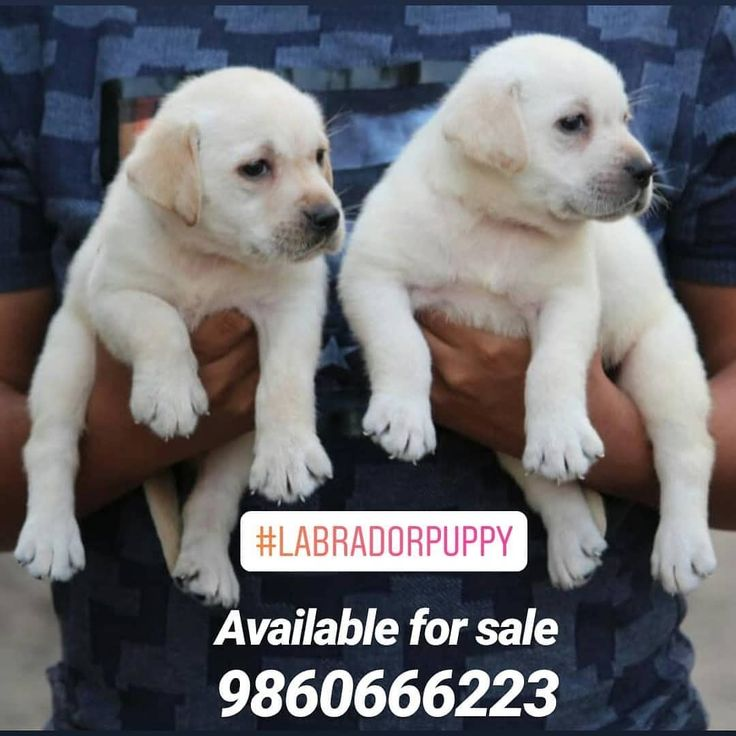 Labradorpuppy Available For Sale In Pune For More Information Contract 9860666223 Labradorretriever Labradorretri Labrador Retriever Labrador