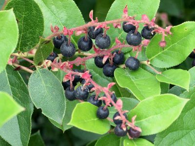 Salal Plant Info: Tips On Growing Salal Plants - Interested in growing salal plants in your own garden? You can certainly do just that, as long as growing conditions are right for this woodland plant. Click this article for more salal plant information and learn how to grow your own.