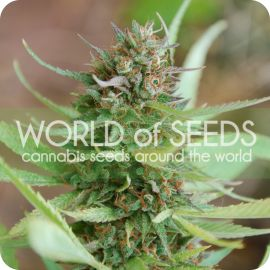 Strawberry blue - strain - World of Seeds | Cannapedia
