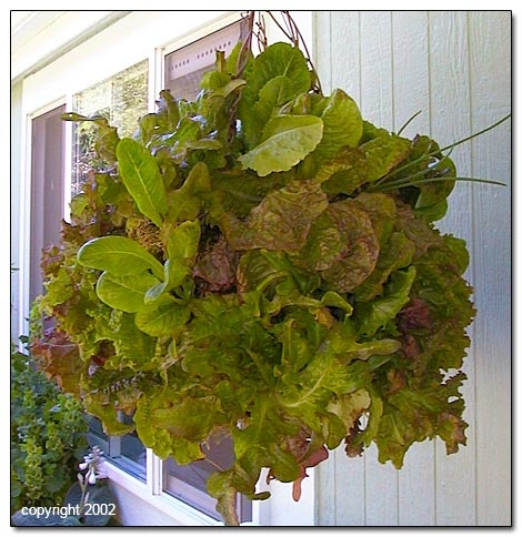 How to Make a Moss Lettuce Basket: Gardens Ideas, Edible Gardens, Small Places, Gardens Projects, Moss Lettuce, Small Spaces, Hanging Baskets, Lettuce Baskets, Limited Spaces