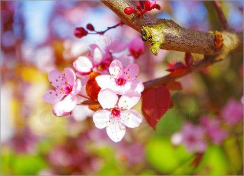 """Bild von Tanja Riedel - """"Kirschbaum Blüte"""""""